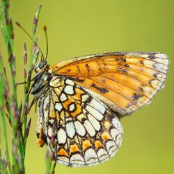 Przeplatka atalia (Melitaea athalia)