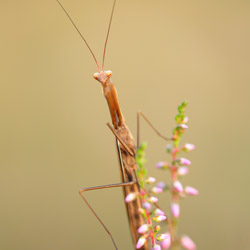 European Mantis (Mantis religiosa)