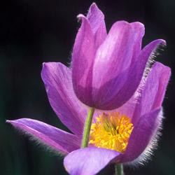 Sasanka otwarta (Anemone patens)