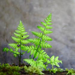 Nerecznica szerokolistna (Dryopteris dilatata)