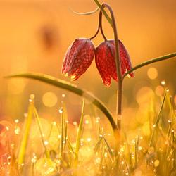 Checkered lily (Fritillaria meleagris)