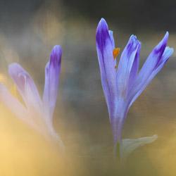 Szafran spiski (Crocus scepusiensis)
