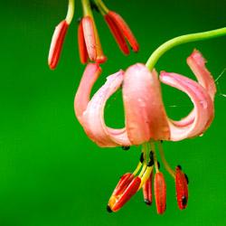 Lilia złotogłów (Lilium martagon)