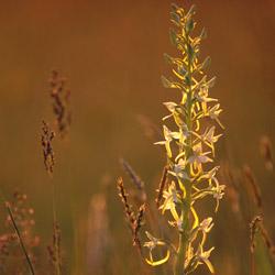 Podkolan biały (Platanthera bifolia)