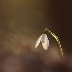 Śnieżyczka przebiśnieg (Galanthus nivalis)