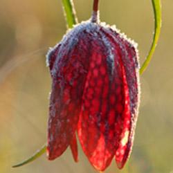 Szachownica kostkowata (Fritillaria meleagris)