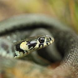 Zaskroniec zwyczajny (Natrix natrix)