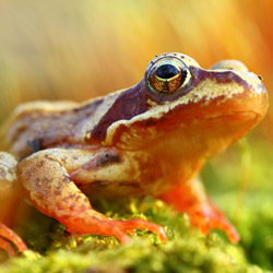 The common frog (Rana temporaria)