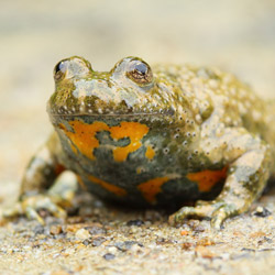 Yellow–bellied Toad (Bombina veriegata)