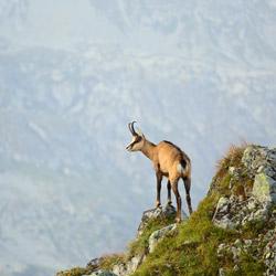 Tatra chamois (Rupicapra rupicapra tatrica)