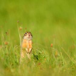 Speckled ground squirrel (Spermophilus suslicus)