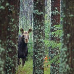 Eurasian elk (Alces alces)