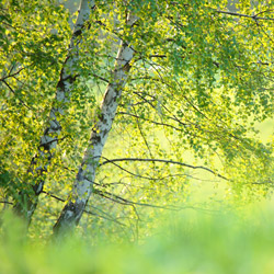 Birches, Landscape Park of the San River Valley, Western Bieszczady
