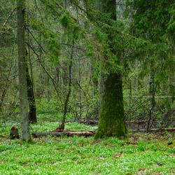 Białowieża National Park, Białowieża Forest